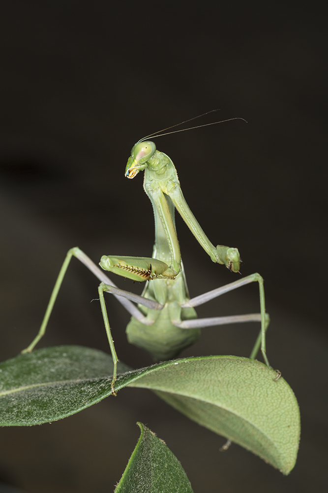 5-Praying Mantis