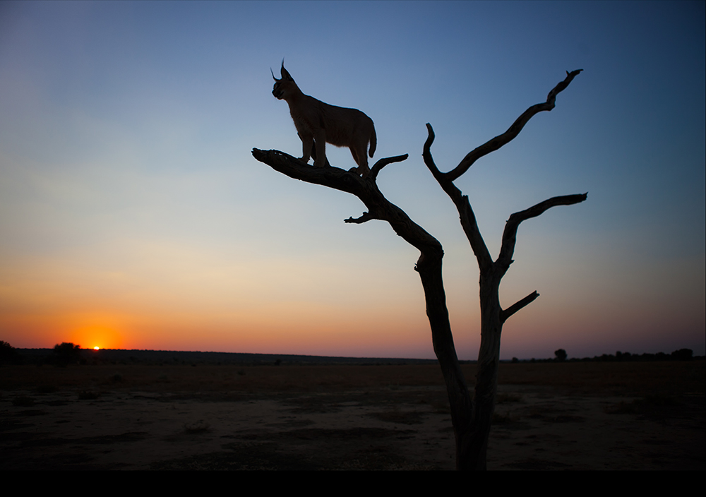 6-Caracal Sunset